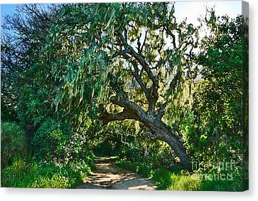 Moss Covered Tree In Garland Ranch Park In Monterey California. Canvas Print by Jamie Pham