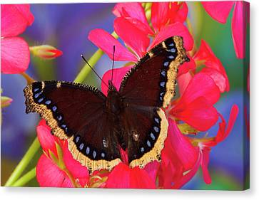 Mourning Cloak Butterfly, Nymphalis Canvas Print by Darrell Gulin