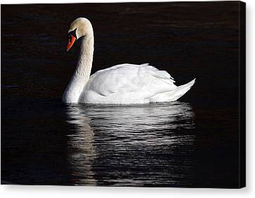 Mute Swan Canvas Print by Jim Nelson