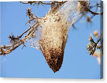 Nests Of Pine Processionary Caterpillar Canvas Print by Ashley Cooper