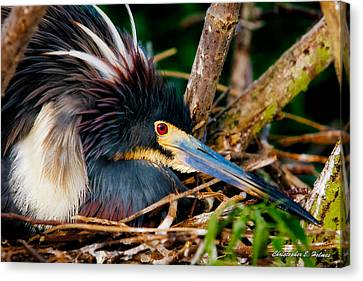 On The Nest Canvas Print by Christopher Holmes