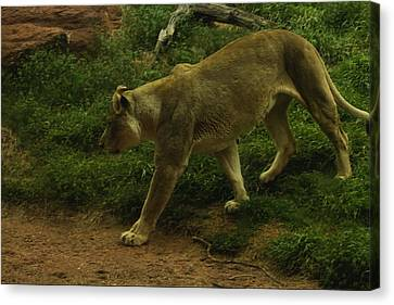On The Prowl Canvas Print by Lindy Spencer