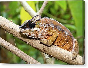 Panther Chameleon Canvas Print by Dr P. Marazzi