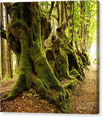 Path Lined Whit Old Beeches. Allier. Auvergne. France Canvas Print by Bernard Jaubert