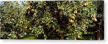 Pear Trees In An Orchard, Hood River Canvas Print by Panoramic Images