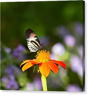Piano Key Butterfly Canvas Print by Kim Hojnacki