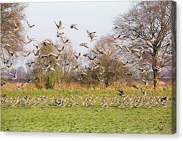 Pink Footed Geese (anser Brachyrhynchus) Canvas Print by Ashley Cooper