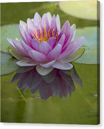 Pink Water Lily Canvas Print by Rebecca Cozart