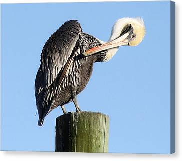 Pretty Pelican Canvas Print by Paulette Thomas