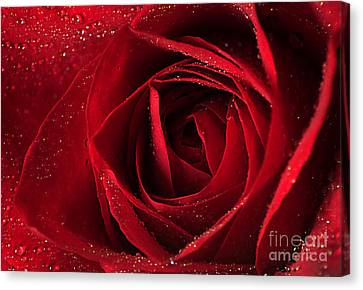 Red Rose Canvas Print by Darren Fisher