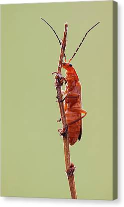 Red Soldier Beetle Canvas Print by Heath Mcdonald