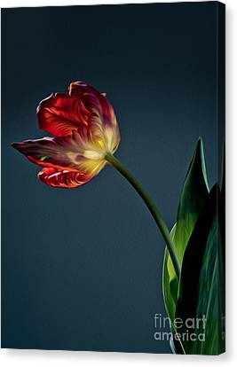 Red Tulip Canvas Print by Nailia Schwarz
