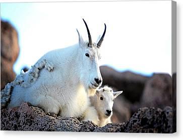 Rocky Mountain Goats 2 Canvas Print by OLenaArt Lena Owens