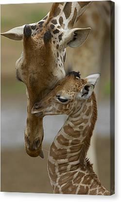 Rothschild Giraffe And Calf Canvas Print by San Diego Zoo