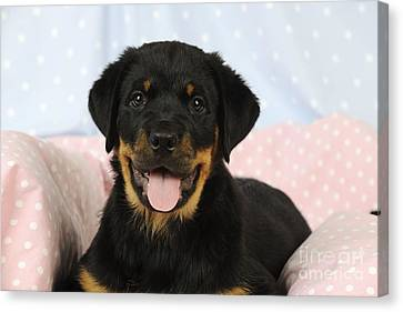 Rottweiler Puppy Dog Canvas Print by John Daniels