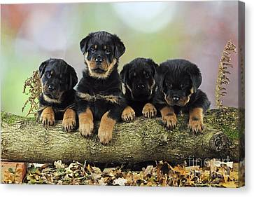 Rottweiler Puppy Dogs Canvas Print by John Daniels