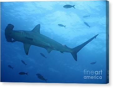 Scalloped Hammerhead Sharks Canvas Print by Sami Sarkis