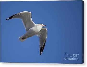 Sea Gull Canvas Print by Twenty Two North Photography