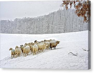 Sheep In Snow Canvas Print by Thomas R Fletcher