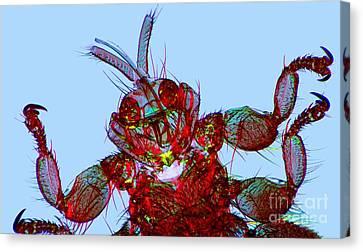 Sheep Ked, Light Micrograph Canvas Print by Dr. Keith Wheeler
