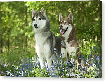 Siberian Huskies Canvas Print by John Daniels