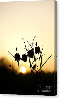 Snakes Head Fritillary Flowers At Sunset Canvas Print by Tim Gainey