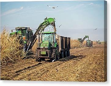 Sugar Cane Harvest Canvas Print by Jim West