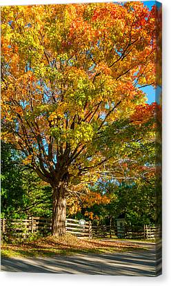 Sugar Maple Canvas Print by Steve Harrington