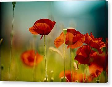 Summer Poppy Canvas Print by Nailia Schwarz