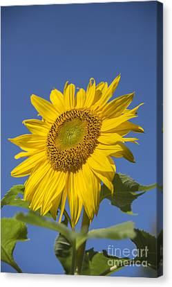Sunny Day Canvas Print by Alana Ranney