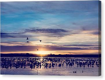 Sunrise - Snow Geese - Birds Canvas Print by SharaLee Art