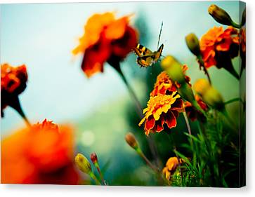 Tagetes And Buterfly Fly Away  Canvas Print by Raimond Klavins
