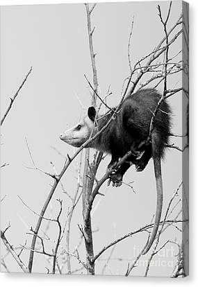 Treed Opossum Canvas Print by Robert Frederick