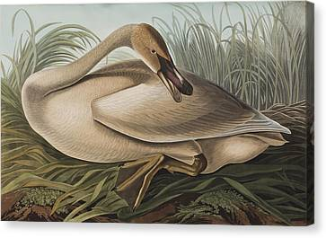 Trumpeter Swan Canvas Print by John James Audubon