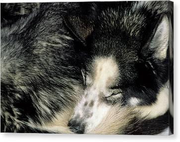 Usa, Alaska, Sled Dogs, Dog Sledding Canvas Print by Gerry Reynolds