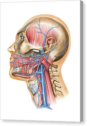 Venous System Of The Head And Neck Canvas Print by Asklepios Medical Atlas