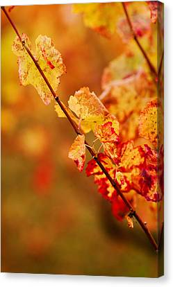 Vineyard In Autumn, Gaillac, Tarn Canvas Print by Panoramic Images