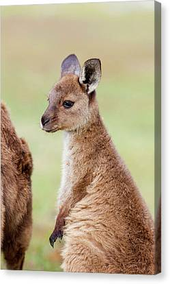 Western Grey Kangaroo (macropus Canvas Print by Martin Zwick