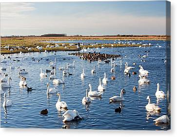 Whooper Swans Canvas Print by Ashley Cooper