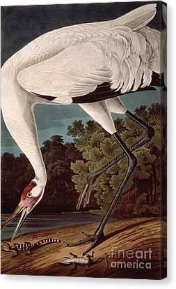Whooping Crane Canvas Print by John James Audubon