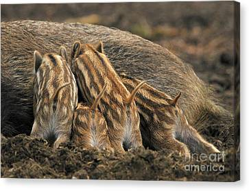 Wild Boar And Piglets Canvas Print by Reiner Bernhardt