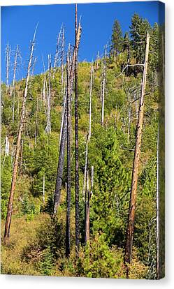 Wildfire Damage In Yosemite Canvas Print by Ashley Cooper