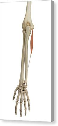 Human Arm Muscles Canvas Print by Sciepro