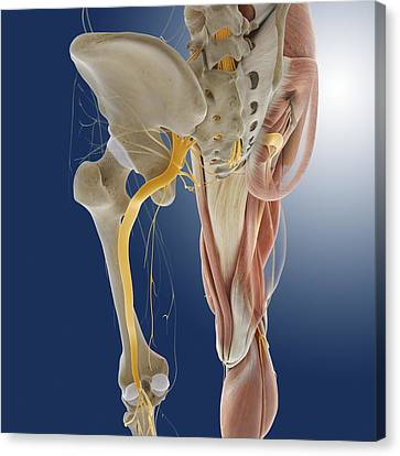 Lower Body Anatomy, Artwork Canvas Print by Science Photo Library
