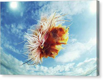 Lion's Mane Jellyfish Canvas Print by Alexander Semenov