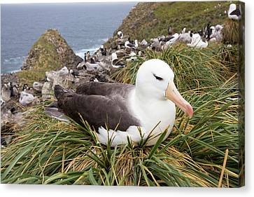 A Black Browed Albatross Canvas Print by Ashley Cooper