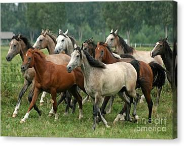 Arabian Horses Canvas Print by Angel  Tarantella