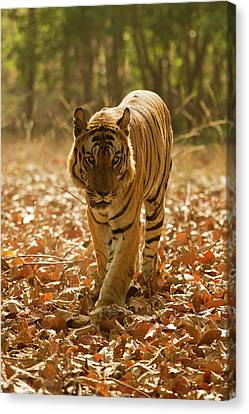 Asia, India, Bandhavgarh National Park Canvas Print by Joe and Mary Ann Mcdonald