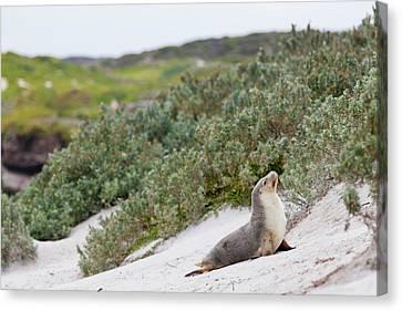 Australian Sea Lion (neophoca Cinerea Canvas Print by Martin Zwick