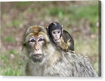 Barbary Macaques Canvas Print by M. Watson